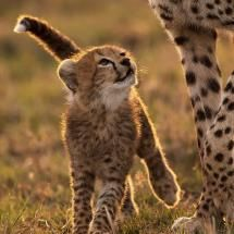 A cheetah cub looks up at its mother on the great plains of Africa...