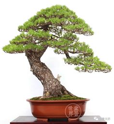 Pine Bonsai, Bonsai Art, Bonsai Garden, Porsche, House Plans, Gardens, Floral, Plants, Ideas