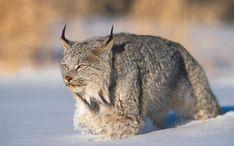 SCIENCE BEATS: Habitat loss threatens the world's felids