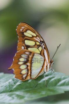 Malachite Butterfly (Siproeta stelenes) situé en Amérique centrale et du nord de l'Amérique du Sud. Maintenant, une espèce introduite dans le sud de la Floride