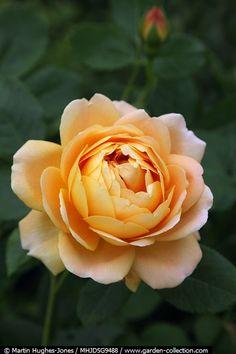 cc  'Golden Celebration' rose by Martin Hughes-Jones