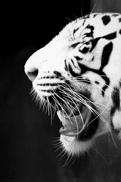 "Tiger ~ want this in color as a tatoo!  ""Tyger Tyger burning bright in the forest of the night"" - poem by Blake"