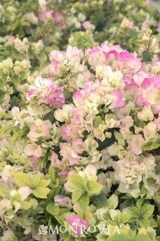 Monrovia's Yani's Delight Bougainvillea details and information. Learn more about Monrovia plants and best practices for best possible plant performance.