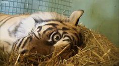 El video de esta mamá tigre pariendo a sus cachorros me hizo llorar toda la tarde