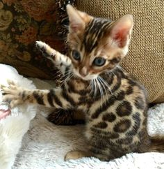 Image result for bengal newborn kittens Cute Kittens, Fluffy Kittens, Black Kittens, Pretty Cats, Beautiful Cats, Animals Beautiful, Kitten Images, Kitten Photos, Newborn Kittens