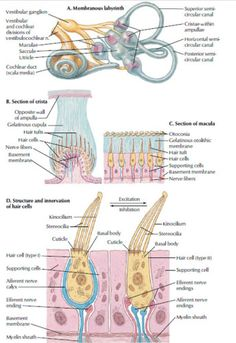 receptors, system, vestibular