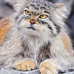 Beautiful Pallas cat