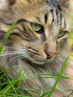 """""""A cat in the grass is a tiger in the jungle."""" --English Proverb"""