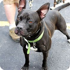 American Pit Bull Terrier Mix Dog for adoption in Detroit, Michigan - Andrea - Foster Needed