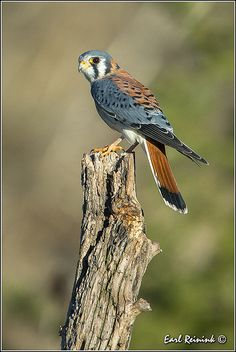 Kestrel - usedto be called Sparrow Hawk Pretty Birds, Love Birds, Beautiful Birds, Animals Beautiful, Cute Animals, Birds 2, Small Birds, Exotic Birds, Colorful Birds