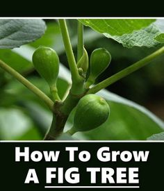 How To Grow Fig Trees - in your own backyard... #gardening