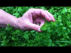 Chickweed melts fat: I don't so spam on books, but this is a good herb to do more research on. La Dean Griffin had this herb in her skinny formula in the '70.