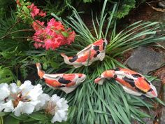Kohaku koi with black - Fish In The Garden LLC