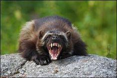 Wolverine- This is actually the largest member of the weasel ...