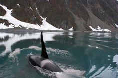 Killer whale near Seward , Alaska