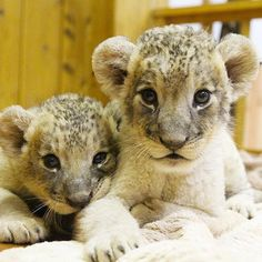 fuji_safari 今日で生後1ヶ月になったライオンの赤ちゃん。 These lion cubs are one month old today (August 7th). #富士サファリパーク #ライオン #赤ちゃんライオン #赤ちゃん #生後1ヶ月 #動物 #fujisafaripark #lion #lioncub #babylion #cute #one-month-old #animal #wildlife 富士サファリパーク 2017/08/07 22:43:32