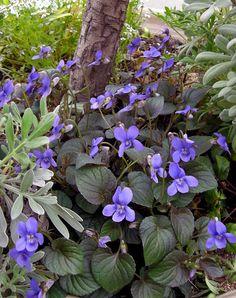クロバスミレ Viola labradorica 'Purpurea' (別名:宿根スミレ紫式部) 半常緑性 多年草 北米、グリーンランド原産 花期: 11-5月頃(紫色) 草丈:10~15cm 日照: 日なた~半日陰 生育旺盛で寒さに強く暖地では葉も枯れずに越冬する。日当たりを好む。こぼれ種でもよく増える。多年草だが、2、3年で株が衰えてくる。