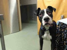 ~~ #911 ~~ ON EUTH LIST!!!! ~~ #SOS~~  CALLING ALL ANGELS!!!!! ~~ #CRITICAL ~~ #NEUTERED 1 YEAR OLD  #GreatDane/Pit Bull - $25 TO adopt!! https://www.facebook.com/photo.php?fbid=512514298833573&set=a.407457879339216.97606.118795328205474&type=1&theater  1 year old neutered male, black - white  I have been at the shelter since Sep 03, 2013. San Bernardino County - Devore Shelter (909) 386-9820