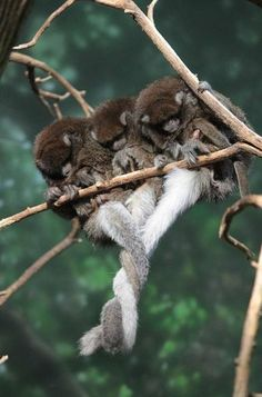 Titi monkeys wrap their tails together to reinforce social bonds