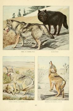 Wolves and coyote. Wild Animals of North America, Intimate Studies of Big and Little Creatures of the Mammal Kingdom. Nelson, Fuertes, and Grosvenor, 1918.