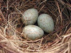eieren merel