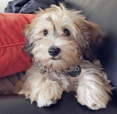Miso the Havanese