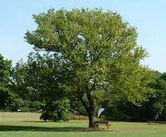 Senegalia caffra (Acacia) Acacia, Trees To Plant, Golf Courses, Plants, Fast Growing Plants, Tree Planting, Gardens, Plant, Planets