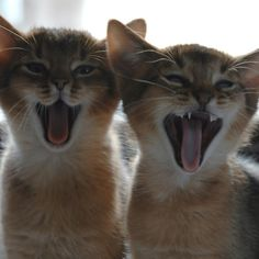 how darling are these Abyssinian kittens? …but HATE the breeders who go after them. Abyssinian Kittens, Cats And Kittens, Kitty Cats, Crazy Cat Lady, Crazy Cats, Baby Animals, Cute Animals, Owning A Cat, Domestic Cat