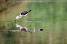 Black winged stilt #bird #uccello #birdwatching #black #winged #stilt #himantopus #animal #water #lake #photo #photography #fliiby #images #yyazilim #people #nature