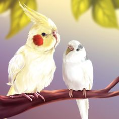 cockatiel and budgie