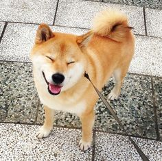 The Best Of Marutaro: The Cutest Shiba Inu On Instagram