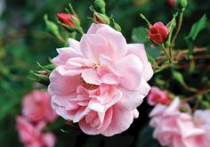 lovely pink rose - Everything you need to know about planting roses in your garden.