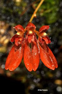 Bulbophyllum species, orchid photographs