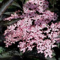 Sambucus Nigra Black Lace, Evergreen, 50th, Landscape, Plants, Black Beauty, Shop, House, Dark Beauty