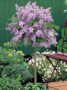 Enjoy a show of delicious early summer colour with the Lilac Dwarf Standard. Clusters of & 117 Best Patio trees images | Landscaping Flowers Small gardens