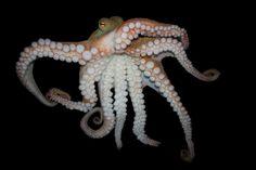 All sizes   Pinnoctopus cordiformis, Common octopus   Flickr - Photo Sharing!