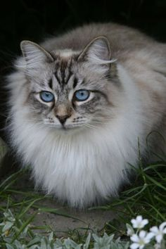 Google-Ergebnis für http://www.pictures-of-cats.org/images/siberian-cat-pictures-of-cats-7.jpg
