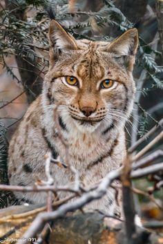 Eurasischer Luchs oder Nordluchs (Lynx lynx) - Eurasischer Luchs oder Nordluchs (Lynx lynx)