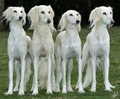 Salukis are my favorite dogs. They are so beautiful and they are cool.