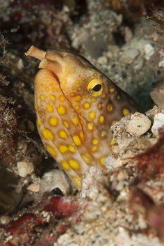 Yellow Spotted Snake Eel taken in Padang Bai, Bali. Tony Brown, Padang, Sea Fish, Ocean Life, Life Images, Under The Sea, Beautiful Creatures, Underwater, Snake