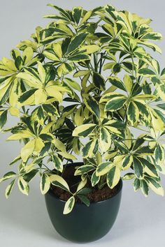 Shrubs Schefflera Plant - These sturdy beauties can handle a little neglect. Easy House Plants, House Plants Decor, Plant Decor, Garden Plants, Tropical House Plants, Big Garden, Potted Plants, Umbrella Tree, Umbrella Plant Care