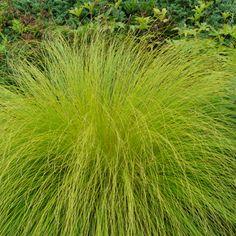 Sporobolus heterolepis - Tautropfen-Gras  Pflanzenversand Gaissmayer