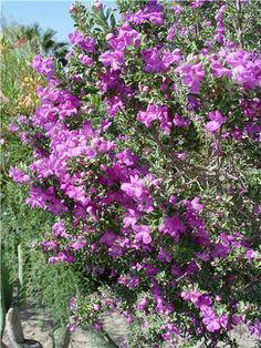 Leucophyllum frutescens...a hardy plant for the Texas sun