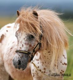Miniature horse with beautiful coloring!!