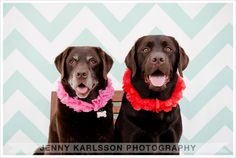 My chocolate labs, Lola & Lucy pose for a doggy photo