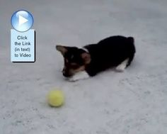 Corgi vs tennis ball. Who wins this round? #video  http://www.dogvideooftheweek.com/videos/view/2384  #‎dvotw