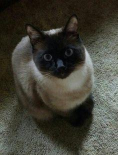 My siamese kitty, Ming :)