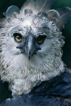 Eagle Pictures, Bird Pictures, Beautiful Birds, Animals Beautiful, Cute Animals, Harpy Eagle, Bald Eagle, Wild Animals Photography, Finches