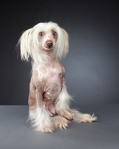 aww so sweet. my favourite breed. this one has lots of bumpies. Mastador Dog, Cavoodle Dog, Chinese Crested Powder Puff, Chinese Crested Dog, Dog And Cat Images, Pappillon Dog, Tuna Dog, Koolie Dog, Kangal Dog