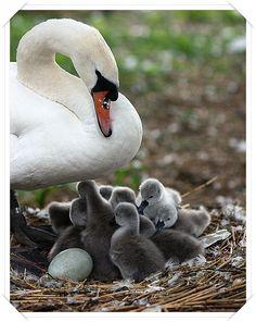 Anne ile yavru Kuğular